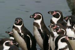 Humboldt Pinguin, Sphenicus humboldti stockbilder