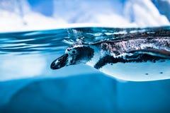 Humboldt-Pinguin Spheniscus humboldti lizenzfreies stockfoto