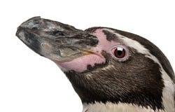 Humboldt Pinguin, Spheniscus humboldti lizenzfreie stockfotos