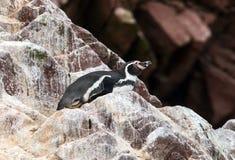 Humboldt Pinguin, Spheniscus humboldti Stockbild