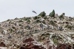 Humboldt-Pinguin Spheniscus humboldti auf den Felsen der Ballestas-Inseln im Nationalpark Paracas, pro lizenzfreie stockfotografie