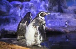 Humboldt-Pinguin Spheniscus humboldti, Humboldtpinguin oder patranca ist ein südamerikanischer Pinguin lizenzfreies stockfoto