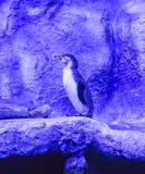 Humboldt-Pinguin Spheniscus humboldti, Humboldtpinguin oder patranca ist ein südamerikanischer Pinguin lizenzfreie stockfotos