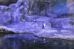 Humboldt-Pinguin Spheniscus humboldti, Humboldtpinguin oder patranca ist ein südamerikanischer Pinguin lizenzfreies stockbild