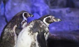 Humboldt-Pinguin Spheniscus humboldti, Humboldtpinguin oder patranca ist ein südamerikanischer Pinguin stockfotografie