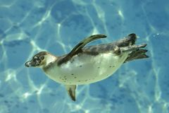 Humboldt Pinguin unter Wasser Lizenzfreie Stockfotos