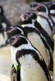 Humboldt Pinguin-Warteschlange stockfotos