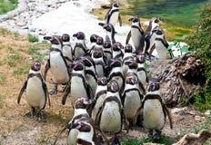 Humboldt Pinguine stockfoto