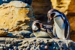 Humboldt Pinguine Stockbild