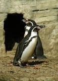 Humboldt Pinguine lizenzfreies stockfoto