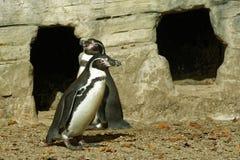 Humboldt Pinguine stockfotografie