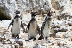 Humboldt-Pinguine auf Felsgelände lizenzfreie stockfotos