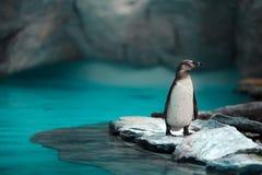 Humboldt-Pinguine, die in der natürlichen Umwelt stehen stockbilder