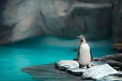 Humboldt-Pinguine, die in der natürlichen Umwelt stehen stockfotografie