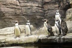 Humboldt-Pinguine oder Spheniscus Humboldti Lizenzfreie Stockfotos