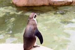 Humboldt-Pinguine oder Spheniscus Humboldti Stockfotos
