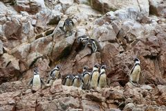 Humboldt-Pinguine in Peru lizenzfreies stockfoto