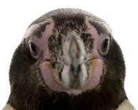 Humboldt-Pinguinkopf, Spheniscus humboldti stockfotografie