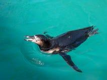 Humboldt Pinguinschwimmen lizenzfreies stockfoto