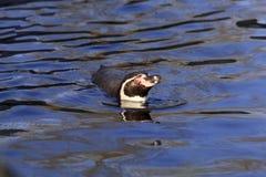 Humboldt Pinguinschwimmen lizenzfreies stockbild