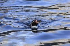 Humboldt Pinguinschwimmen stockbild