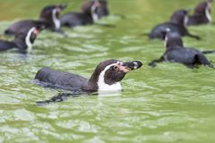 Humboldt-Pinguinschwimmen im Wasser, Porträt des Pinguins stockbild