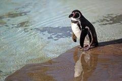 Humboldt pingvin Fotografering för Bildbyråer