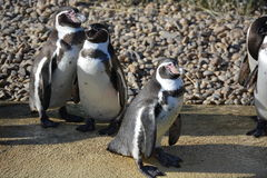 Humboldt pingvin Arkivbilder