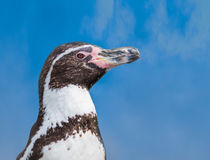 Humboldt pingvin arkivfoton