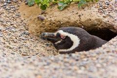 Humboldt pingvin i dess rede/grotta i Argentina royaltyfri foto