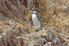 Humboldt pingvin på den peruanska kusten royaltyfri foto