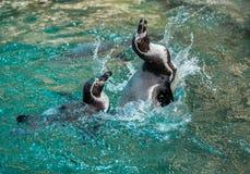 Humboldt pingvin, peruansk pingvin Arkivfoton