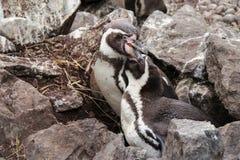 Humboldt pingvin slåss i en zoo i Frankrike Royaltyfria Bilder