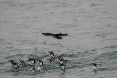 Humboldt pingvin som simmar i havet med Incatärnan som svävar över dem fotografering för bildbyråer