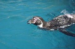 Humboldt pingvin som simmar och ser upp med ett leende Royaltyfria Bilder