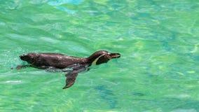 Humboldt pingvin royaltyfri fotografi