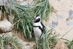 Humboldt pingvin (Spheniscushumboldtien) Royaltyfri Foto