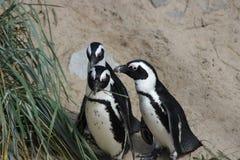 Humboldt pingvin (Spheniscushumboldtien) Royaltyfri Fotografi