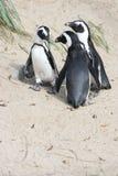 Humboldt pingvin (Spheniscushumboldtien) Arkivbilder