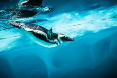 Humboldt pingvin (Spheniscushumboldtien) royaltyfri bild
