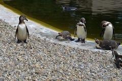 Humboldt pingwinów grupa Zdjęcie Royalty Free