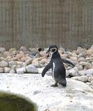 humboldt pingwin fotografia stock