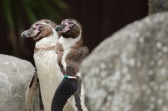 Humboldt pingwin Obraz Royalty Free