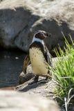 Humboldt pingwin zdjęcia royalty free
