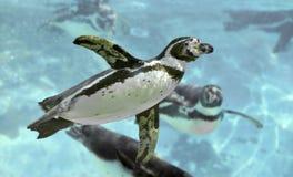 humboldt pingwin pod wodą Fotografia Royalty Free