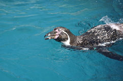 Humboldt pingwinu dopłynięcie i przyglądający up z uśmiechem Obrazy Royalty Free