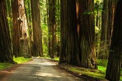 Humboldt Redwood Lasowej drogi prowadzenia przez zwartego lasu ogromni redwood drzewa Zdjęcie Royalty Free