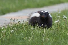 Humboldt`s hog-nosed skunk in northern Patagonia, Chile. Humboldt`s hog-nosed skunk [Conepatus humboldti] searching for food in Valle Chacabuco, Patagonia, Chile Royalty Free Stock Photography