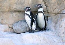 Humboldt-` s Pinguin Lizenzfreies Stockbild