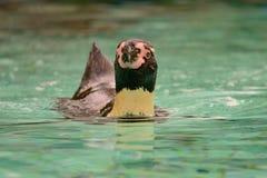 Humboldti de Spheniscus de pingouin de Humboldt photos stock